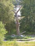 Lönnrot pine